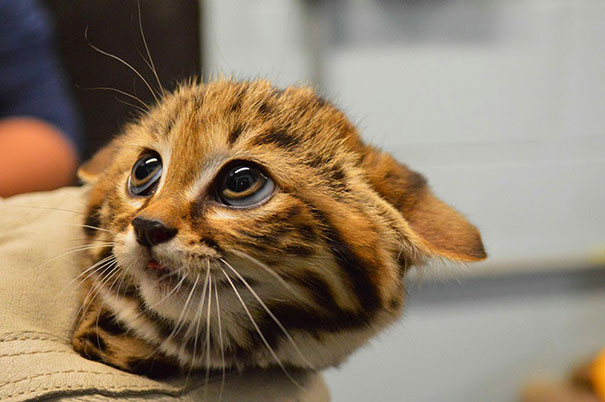 This Puss in the Boots is Baby Black Footed Cat
