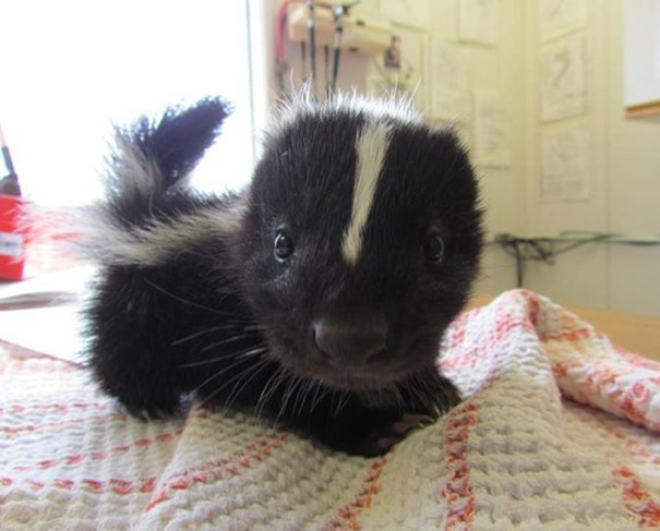 You can't get any cuter than this darling baby skunk