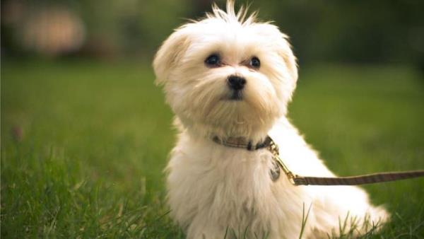 30 Maltese Cutest Small Dog Breeds