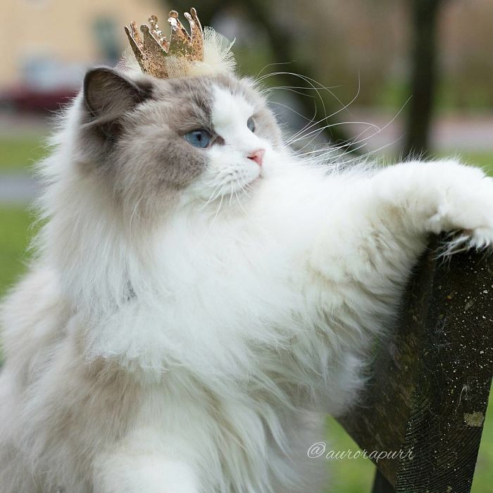 Aurora Beautiful Fluffiest Princess Cat