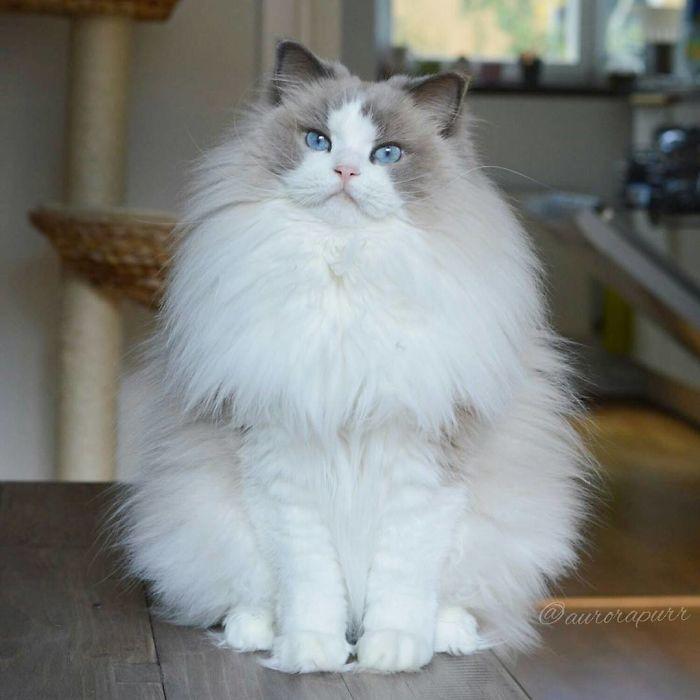 Aurora Beautiful Fluffiest Princess Cat