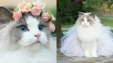 aurora fluffy cat