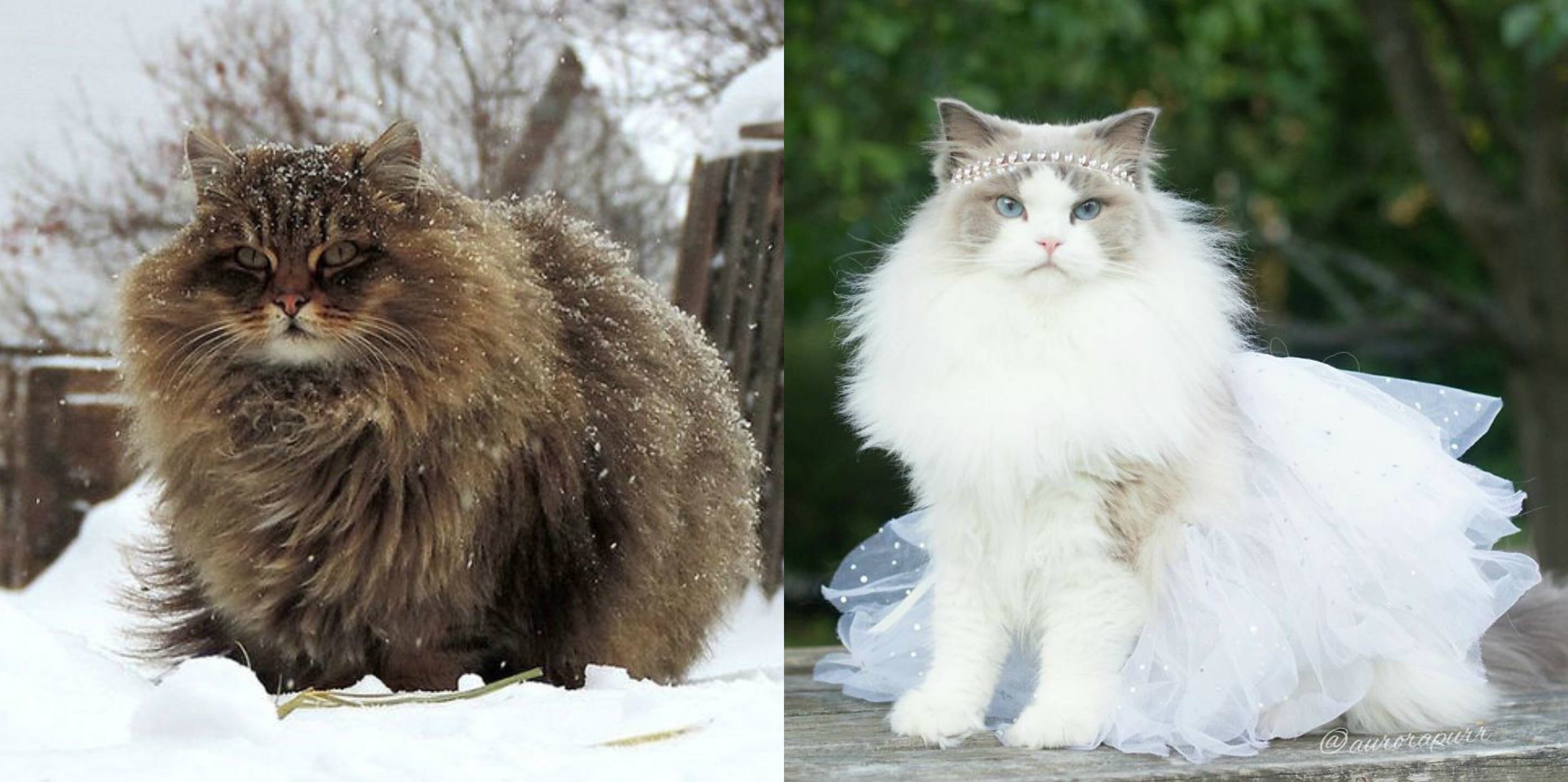 Fluffiest Cats In The World That Will Make You Inexplicably Happy - 25 of the fluffiest cats ever